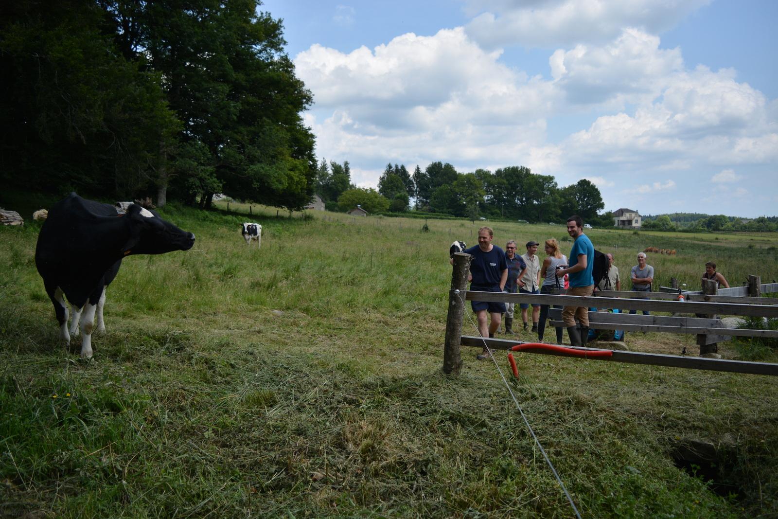 Timide, la vache laitière n'a pas voulu s'approcher pour montrer comment fonctionne la descente aménagée